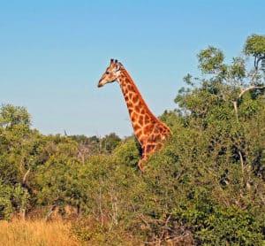 Kruger Park Giraffe South Africa