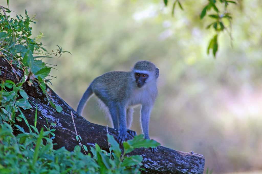 Kruger Park Monkey South Africa