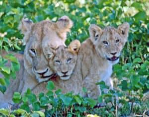 Kruger lions South Africa