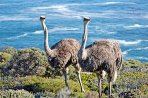 Cape of Good Hope Ostriches South Africa