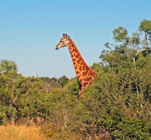 Kruger Park Giraffe South Africa