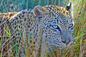 Kruger Park Leopard South Africa Tours