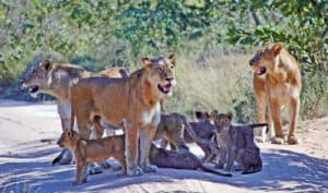 Kruger Park Lionesses with Cubs South Africa Tours