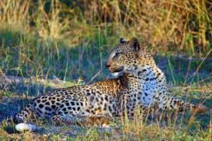 Kruger Park Leopard South Africa