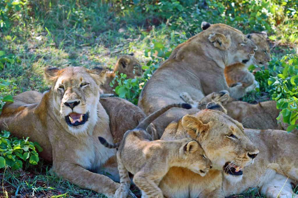 Kruger Park Lions South Africa