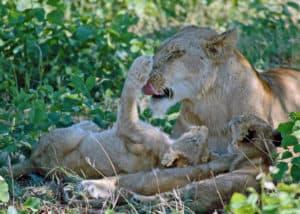 Kruger Park Lions South Africa Tours