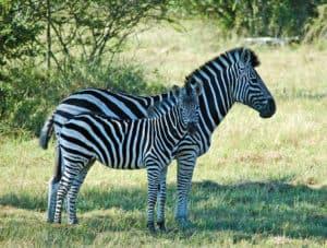 Kruger Park Zebra South Africa